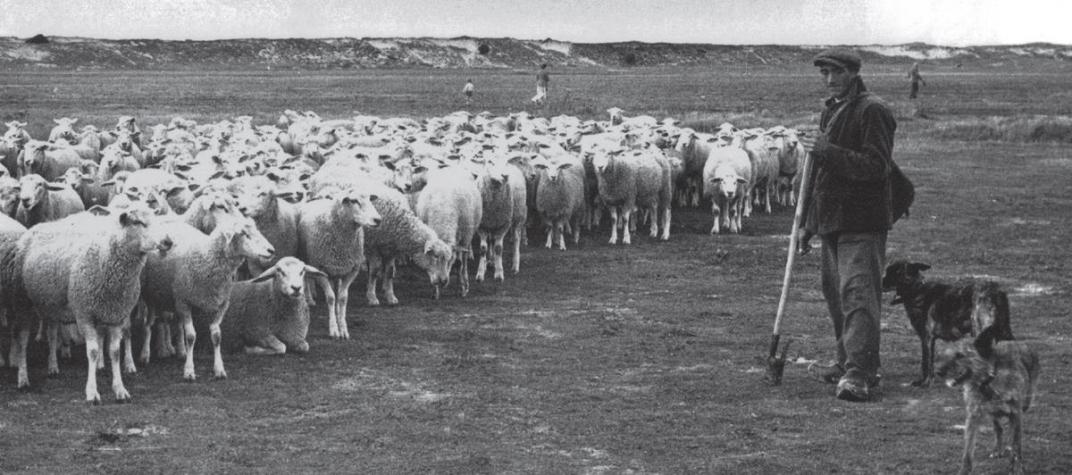 Herders, schapen en natuurbeheer in de zwinstreek